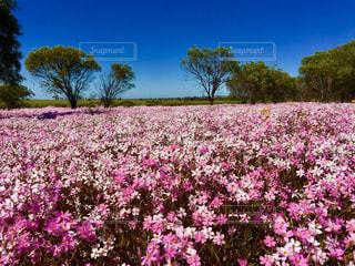 西オーストラリア州のワイルドフラワーの写真・画像素材[843262]
