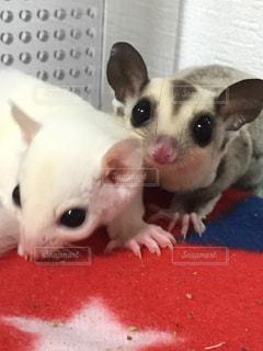 赤と白の齧歯動物の写真・画像素材[1002418]