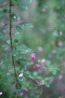 自然,花,緑,水,水滴,水玉,雫,flower,しずく,萩,raindrops