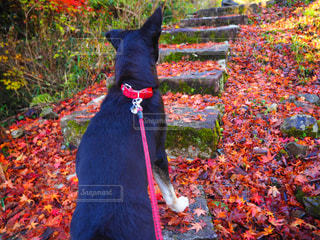 犬,自然,秋,紅葉,赤,晴天,散歩,Autumn,岐阜,四季,12月,岐阜県,師走