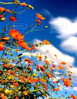 雲,青空,秋桜,秋晴れ,秋空