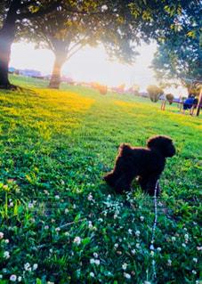 犬,空,公園,夕日,芝生,シロツメクサ,お散歩,おでかけ,夕焼け空,晴れた日のお散歩フォト