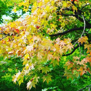 紅葉,新宿,新宿御苑,紅葉初期