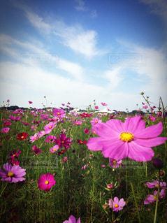 秋空とコスモス畑の写真・画像素材[797722]