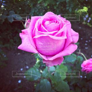 ピンクの薔薇 - No.781690
