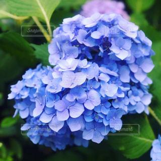 紫陽花のクローズアップの写真・画像素材[2180802]