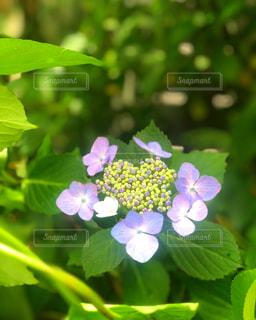 花,夏,屋外,緑,葉っぱ,紫,ハート,紫陽花,グリーン,梅雨,マーク,アジサイ
