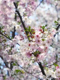 花,春,桜,木,晴れ,花見,景色,樹木,イベント,ブロッサム