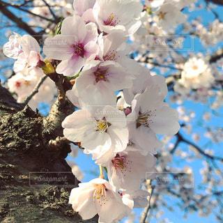 花,春,桜,木,花見,イベント