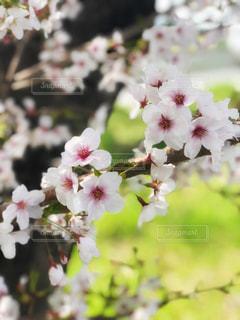 花,春,桜,木,花見,景色,イベント,草木,ブルーム