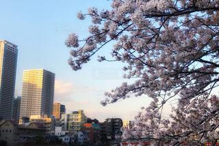川沿いの桜の写真・画像素材[3080229]
