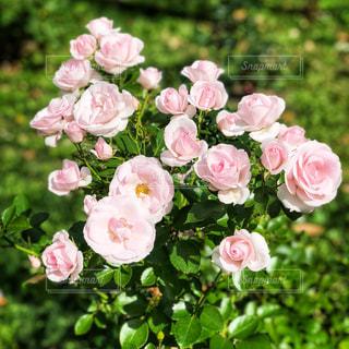 ピンクのバラののクローズアップの写真・画像素材[3081285]