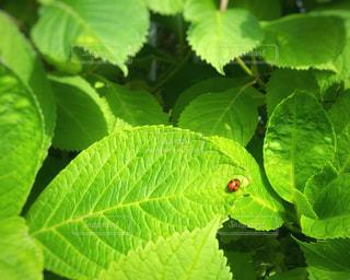 アジサイの葉っぱの上にてんとう虫の写真・画像素材[3189654]