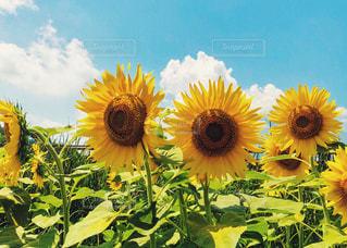 向日葵と青空の写真・画像素材[3250581]