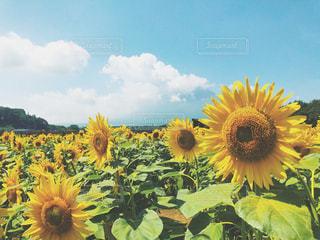 向日葵と青空の写真・画像素材[3250582]