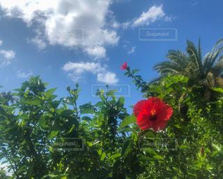 真っ青な空の下で咲いてたハイビスカスの写真・画像素材[3252485]