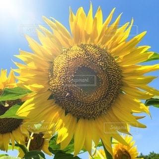 陽射しを浴びる、ひまわりのクローズアップの写真・画像素材[3273959]