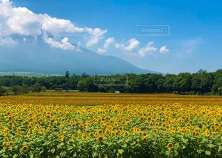 富士山を背景にしたひまわり畑の写真・画像素材[3275133]