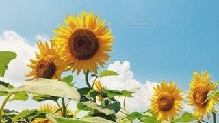 入道雲と青空と向日葵の写真・画像素材[3281631]