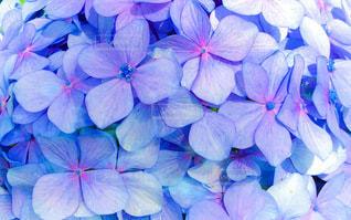 紫陽花のクローズアップ加工の写真・画像素材[3340484]