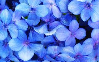 紫陽花のクローズアップ加工の写真・画像素材[3340503]
