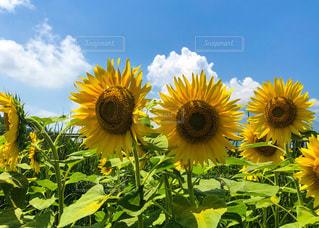 晴天の夏空とひまわり畑の写真・画像素材[3356608]