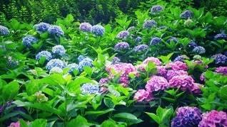 鎌倉の紫陽花の写真・画像素材[3375968]