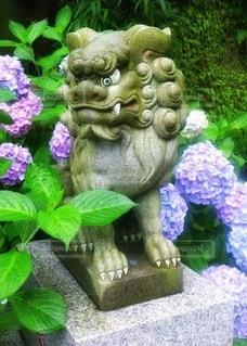 紫陽花と狛犬の写真・画像素材[3375967]