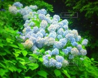 緑豊かな森の中の紫陽花の写真・画像素材[3376545]