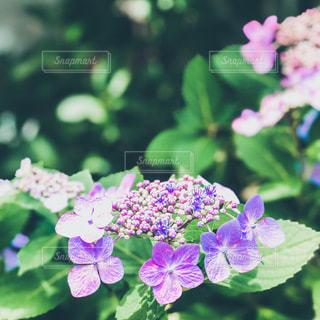 紫陽花のクローズアップの写真・画像素材[3378719]