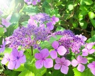 梅雨の合間に陽射しを浴びる紫陽花の写真・画像素材[3381835]