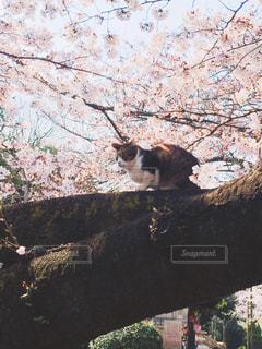 猫と花見の写真・画像素材[1257087]