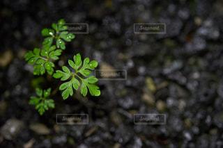 アスファルトに生きる雑草の写真・画像素材[834098]