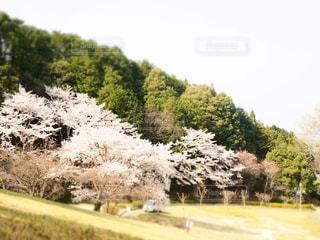 自然,風景,公園,花,春,屋外,お花見,ピクニック,奈良,さくら,葛城