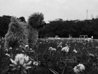 シロツメクサに囲まれての写真・画像素材[837251]