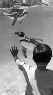 ペンギンを見て楽しむ男の子の写真・画像素材[815219]
