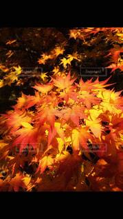 きれいな紅葉の写真・画像素材[876042]