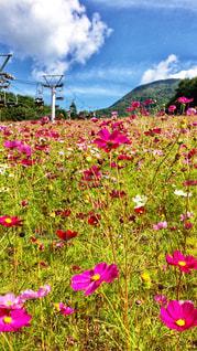 コスモス畑♡の写真・画像素材[903692]