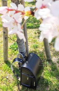 桜の木の下のランドセルの写真・画像素材[1176563]