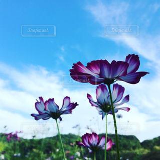 大きな紫色の花は、澄んだ青い空の写真・画像素材[810177]