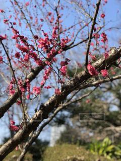 木からぶら下がっている赤い花の写真・画像素材[1038118]
