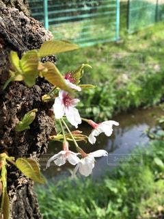 桜,日本の絶景,四月,ソメイヨシノ,さくら,桜と河原
