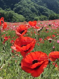フィールドに赤い花の写真・画像素材[1378212]