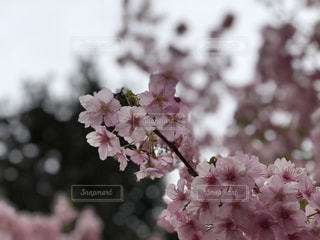 花,春,梅