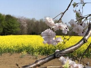 花,春,桜,菜の花,花見,サクラ,さくら