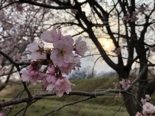桜,お花見,坂戸市,安行寒桜,北浅羽桜堤公園