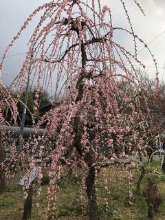 枝垂れ梅の写真・画像素材[3017488]