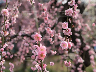 梅の写真・画像素材[3017496]