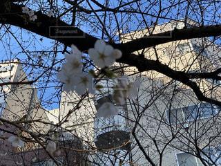 空,花,桜,森林,屋外,樹木,草木,さくら