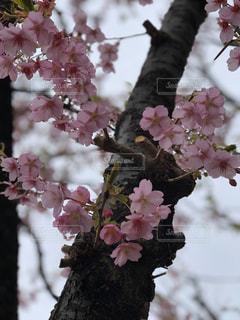 花,春,景色,満開,樹木,河津桜,草木,桜の花,さくら,ブルーム,ブロッサム